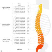 Vertebral Names of the Spine